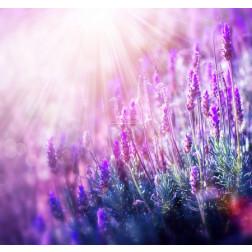 Lavender Flowers Field - Growing and Blooming Lavender